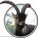 Especies extintas…o casi: Ibex