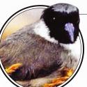 Especies extintas…o casi: Pohouli