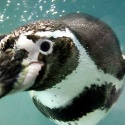 Penguin on the Waddle