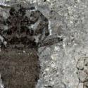 Descubren fósil de pulga gigante que vivió en el Jurásico