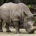 El rinoceronte negro de África se ha extinguido