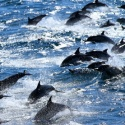 Massive Dolphin Die-Off in Peru May Remain a Mystery