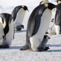 Twice as Many Emperor Penguins as Thought in Antarctica, First-Ever Penguin Count from Space Shows