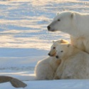 Healthy polar bear count confounds doomsayers
