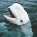 La ballena beluga emite sonidos humanos