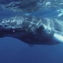El canto de las ballenas jorobadas