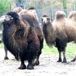 Camello 3
