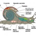 Caracol estructura interna