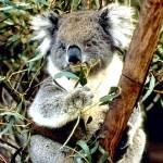Marsupial- Koala