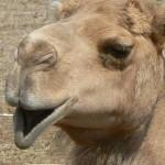 camello 2
