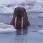 Walrus in icy sea, Investigating effects of climate change on animals in Arctic.