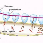 Ribosomas 2-