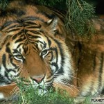 Tigre de Bengala 2