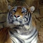Tigre de Bengala 3