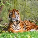 Tigre de Bengala 4 X