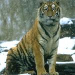 Tigre de Siberia 1