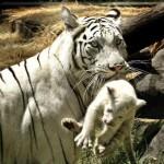 Tigre de Siberia 2