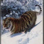 Tigre de Siberia 3