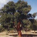 Alcornoque 1