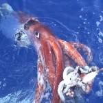 Calamar gigante 1