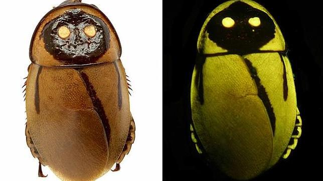 Cucaracha lumiiscente