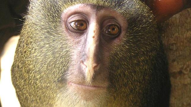 Mono Lesula