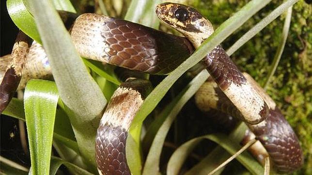 Serpiente comecaracoles