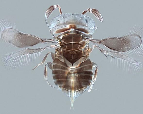 5. Avispa parasitoide