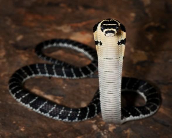 12. Cobra real