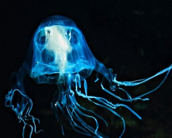 13. Avispa de mar