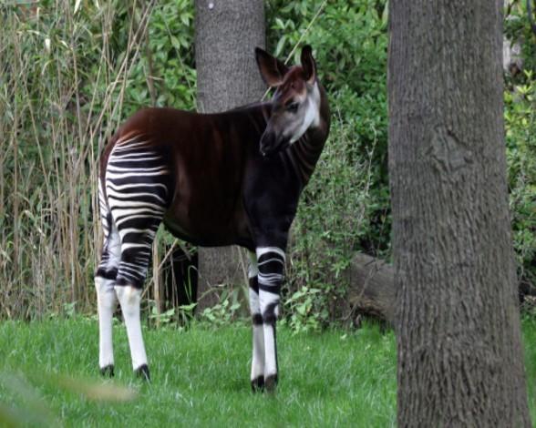 16. Okapi