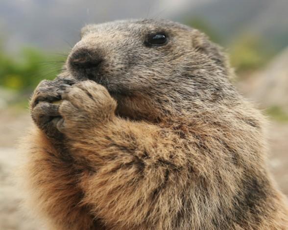 21. Marmota alpina