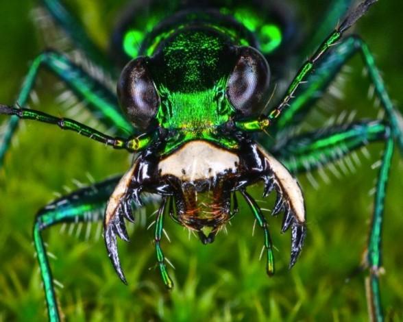 23. Escarabajo tigre
