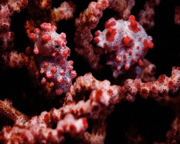 26. Caballito de mar pigmeo