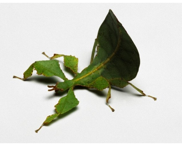 27. Insecto hoja