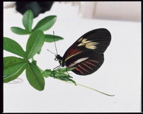 9. Mariposa del cartero